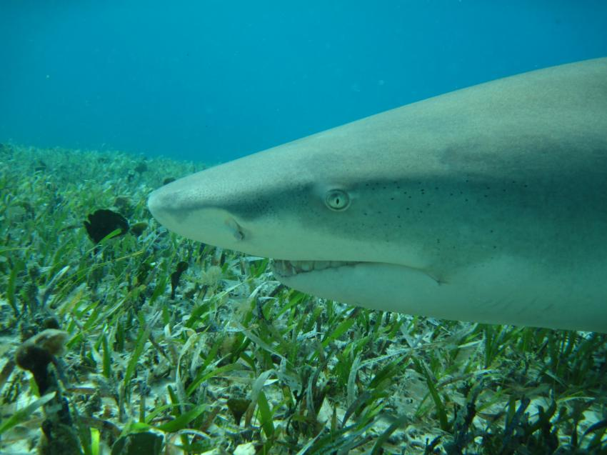 Sharks, Tiger Beach,Bahamas
