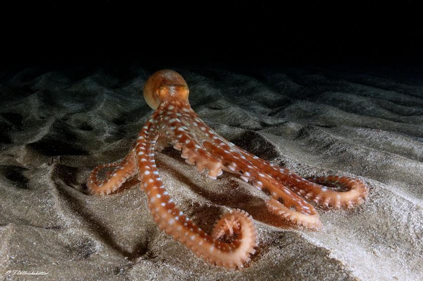 Weissgefleckter Oktopus