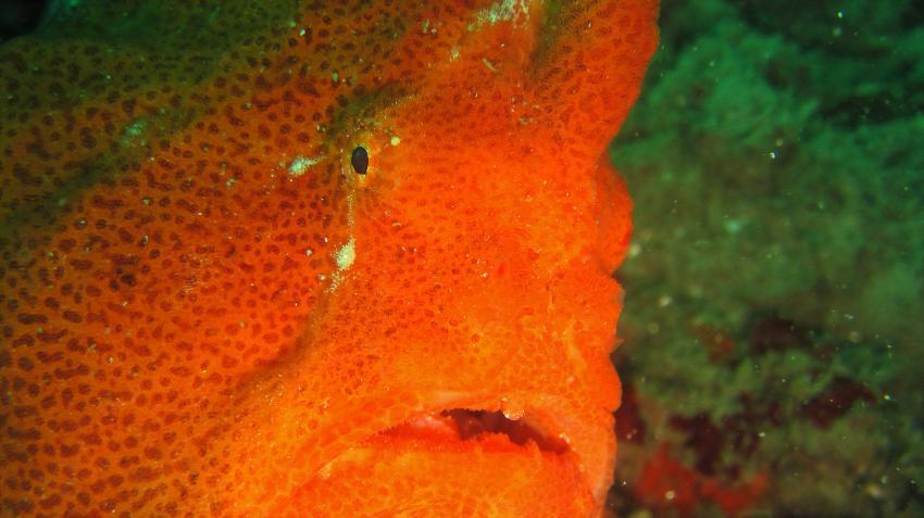frogfish, antennarius commerson, Tofoscuba, Tofo, Mosambik
