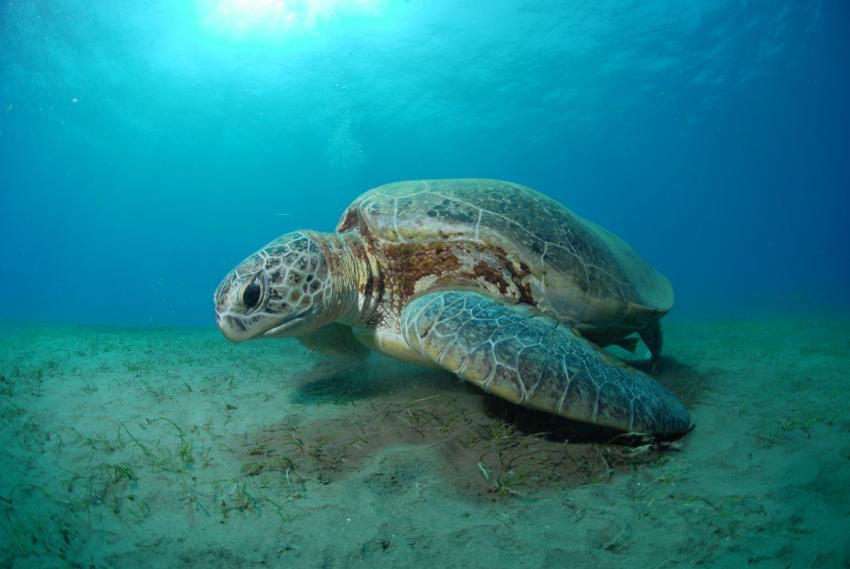 Meeresschildkröte überm Seegras