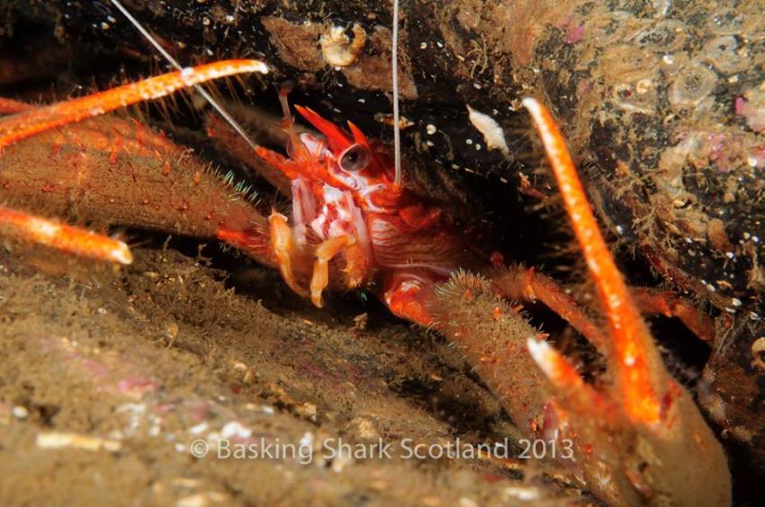 Runzeliger Furchenkrebs - Creagan Inn, Runzeliger Furchenkrebs, Munida rugosa, rugose squat lobster, Creagan Inn, Schottland, Loch, Landtauchgang, Creagan Inn - Loch Creran, Großbritannien