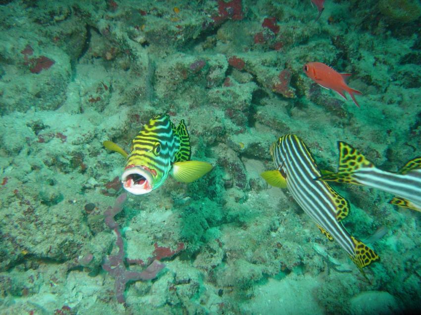 Handhu Falhi Tauchsafari, Handhu Falhi,Malediven,Süsslippe,putzerfisch,putzstation