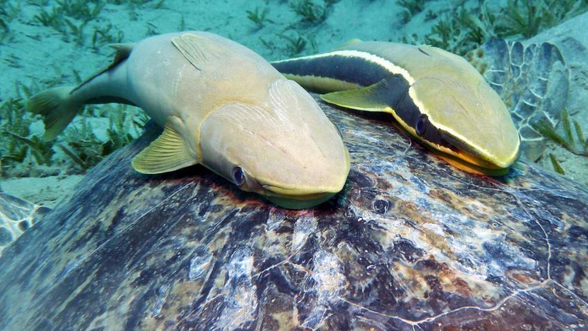 Schiffshalter auf Grüner Schildkröte