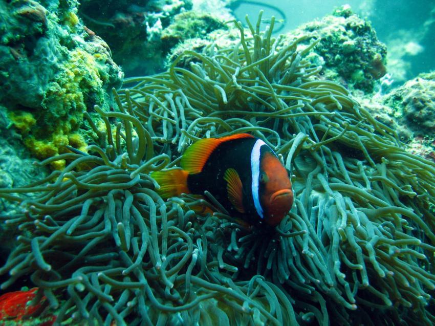 Sipalay/Negros, Sipalay,Philippinen,Anemonenfisch,clownfisch