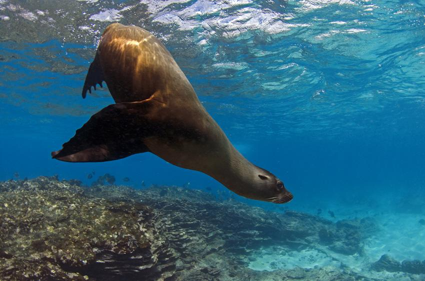 Galapagos Seelöwe führt ein kleines Ballet auf
