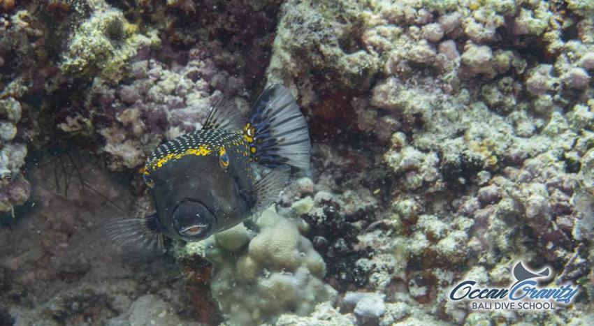 Box fish in Bali, Ocean Gravity Bali Dive School, Indonesien, Bali