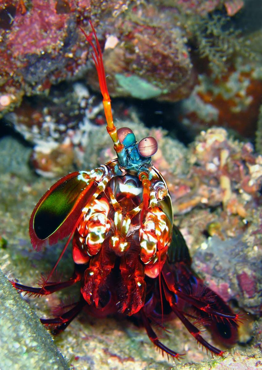 Gangga Island, Gangga Island,Nord-Sulawesi,Indonesien,Fangschrecken,Heuschreckenkrebs (Stomatopoda)