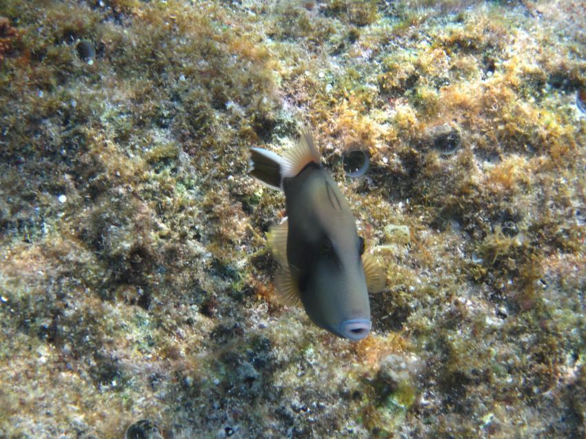 Schnorcheln Juni 2010, Coraya Bay,Ägypten,Drückerfisch