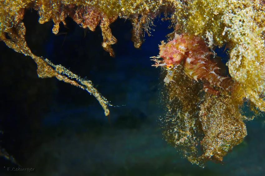 Faszination in der Nähe, so zerbrechlich und wunderschön diese Tiere, Daivoon Dive Center, Lanzarote, Costa Teguise, Spanien, Kanarische Inseln