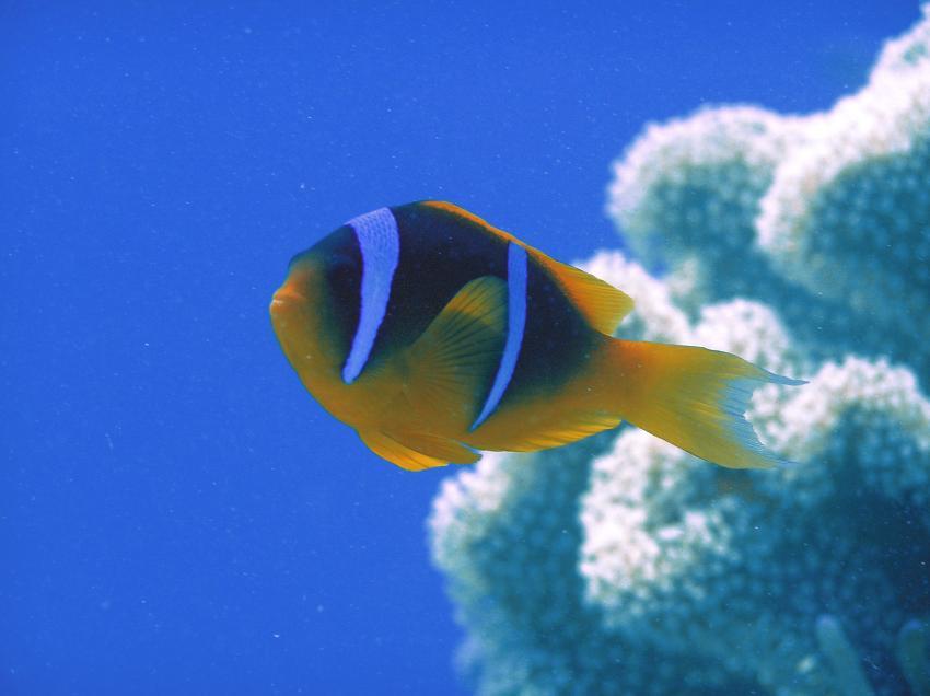 Ras Mohammed - Sharm El Sheikh, Ras Mohammed,Ägypten,Anemonenfisch,clownfisch