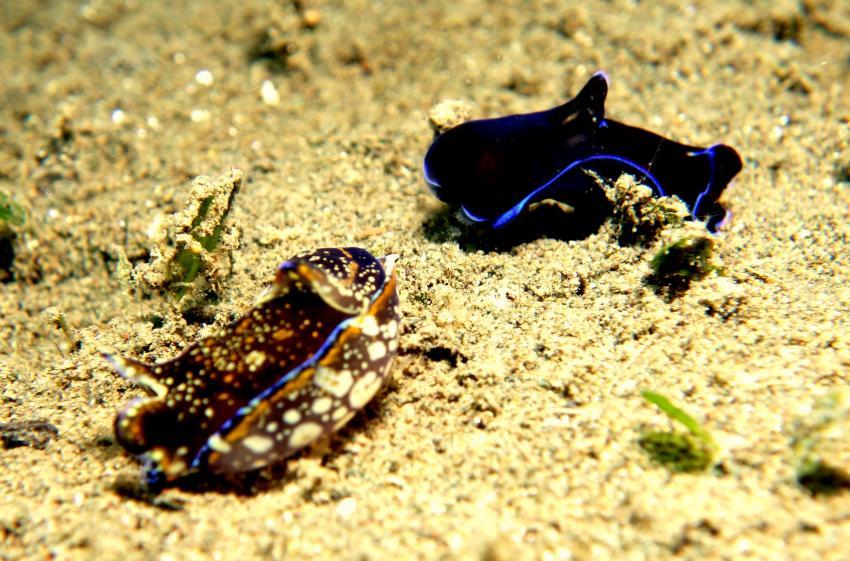 Nudibranch, Nacktschnecke, Salibay Resort, Halmahera, Molukken, Indonesien, Allgemein