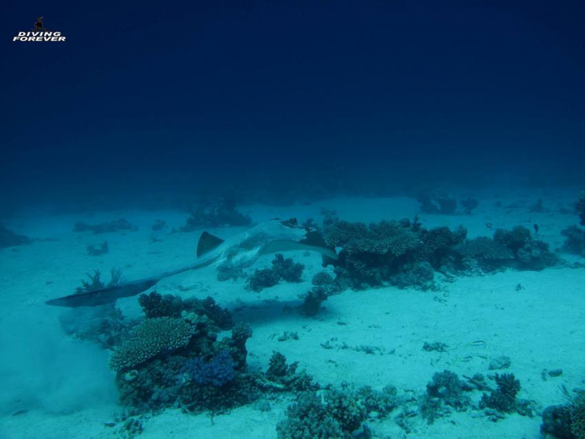 Rochen / El Fanadir / DIVING FOREVER / Hurghada, Rochen / El Fanadir /  DIVING FOREVER / Hurghada, Diving Forever Hurghada, Ägypten, Hurghada