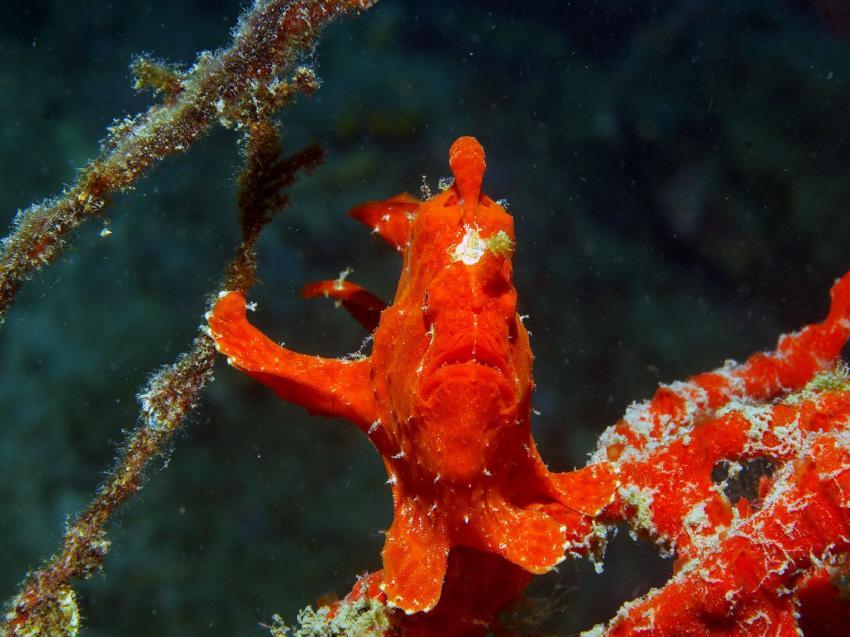 Pemuteran und Insel Menjangan, Menjangan,Indonesien,Anglerfisch,rot