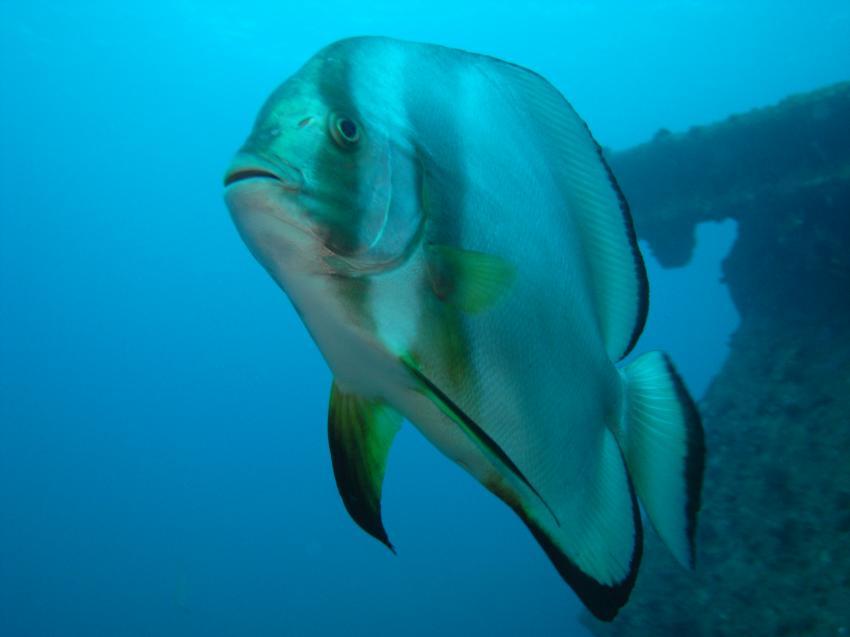 Wrack der Ghiannis D., Wrack der Ghiannis D.,Ägypten,Fledermausfische,Wrack,zutraulich