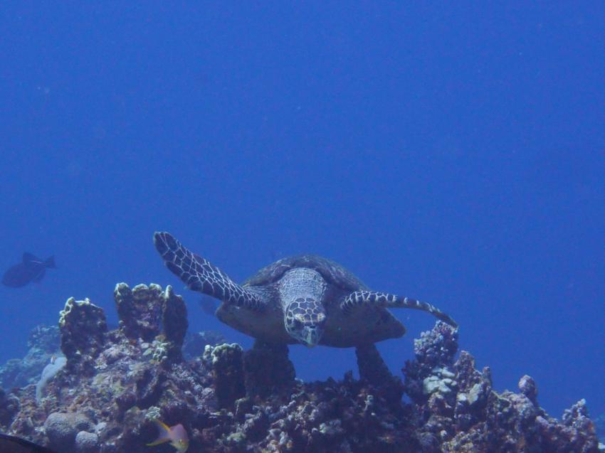 Apo Reef; Schildkröte;, Apo Reef, Pandan Island, Sablayan, Philippinen