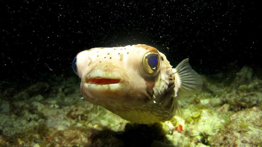 Curacao 2014, Curacao,Curaçao,Niederländische Antillen,Kofferfisch