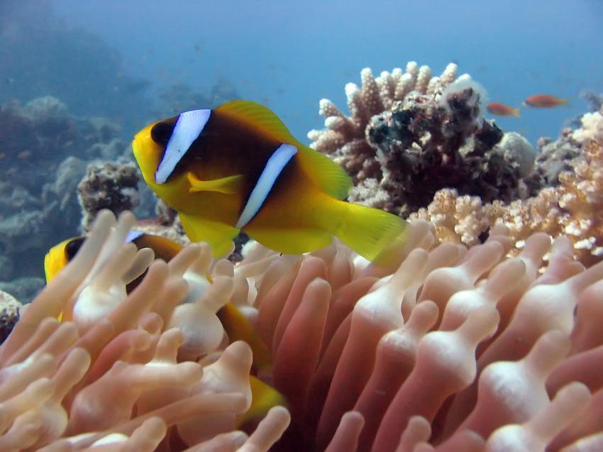 Tauchsafari National Park, Ras Mohammed,Ägypten,Anemonenfisch,Clownfisch,Anemone