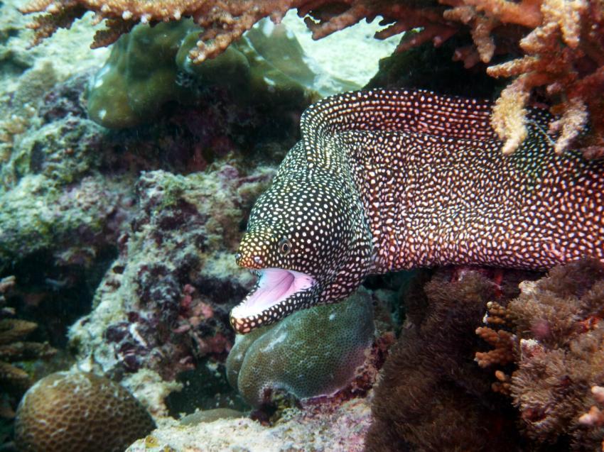Marine Park, Mahe,Baje Ternay Marine Park,Seychellen,Muräne