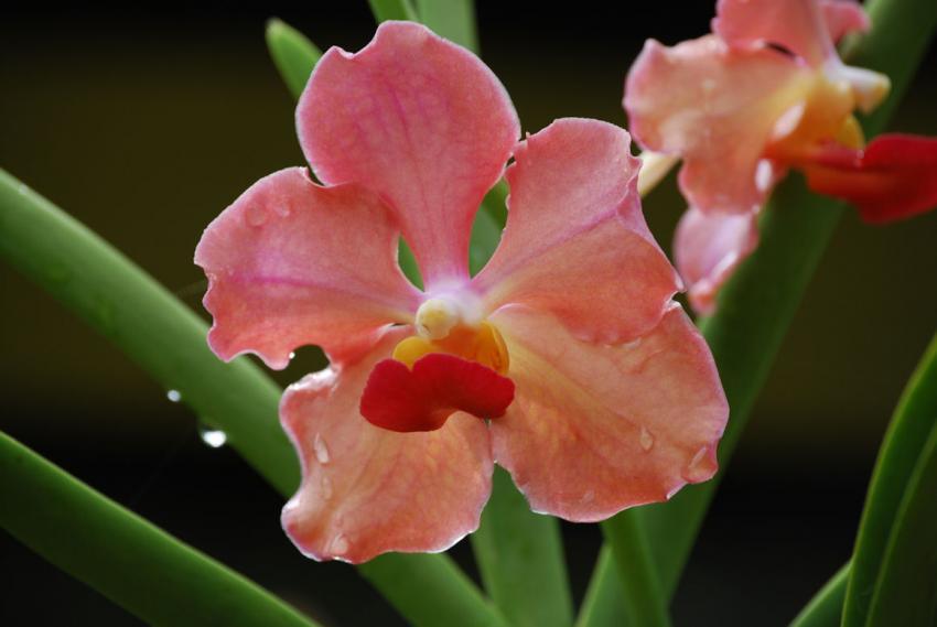Rosa Blüte bei Sabang