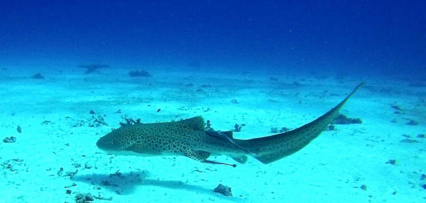 Fuchshai, Lady Elliot Island Eco Resort, Australien
