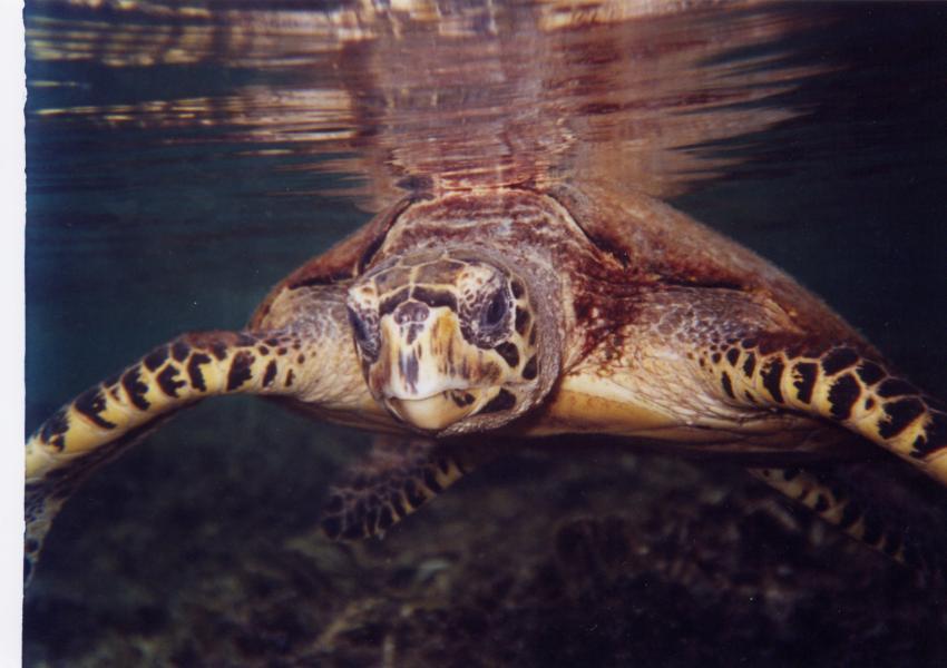 Lang Tengah, Lang Tengah,Malaysia,Meeresschildkröte,auftauchend,Wasseroberfläche