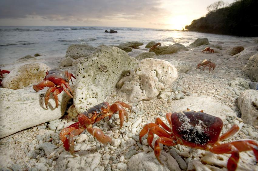 Die berühmte Krabbenwanderung auf Christmas Island, Krabben, Krabbenwanderung, Christmas Island, Indian Ocean, Australien