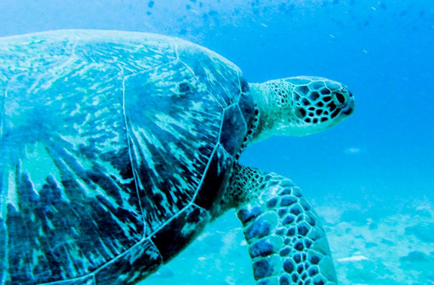 Turtle, Sea Retreats Dive & Watersports, Thulusdhoo, Malediven