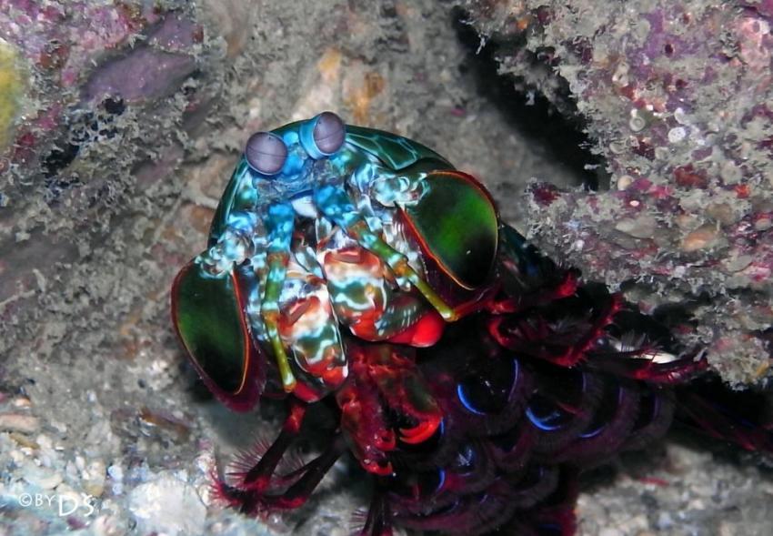 Best of Daniel Sasse, Ao Nang,Koh Phi Phi,Thailand,Mantis Shrimp
