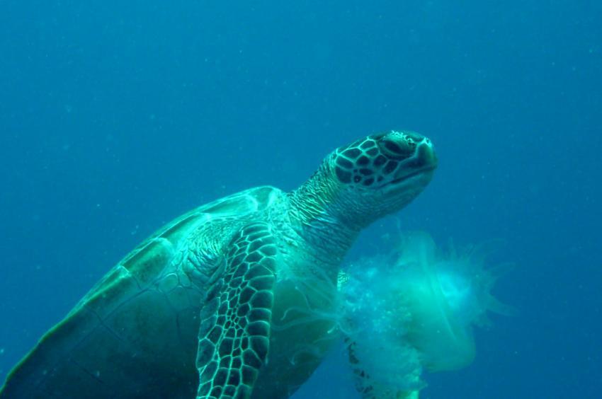 Schildkröte verspeist Qualle
