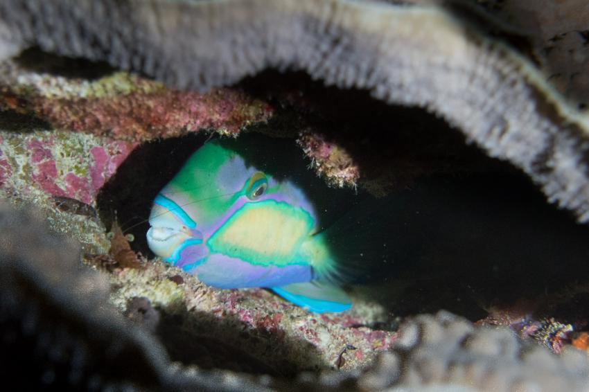 Papageienfisch beim Nightdive