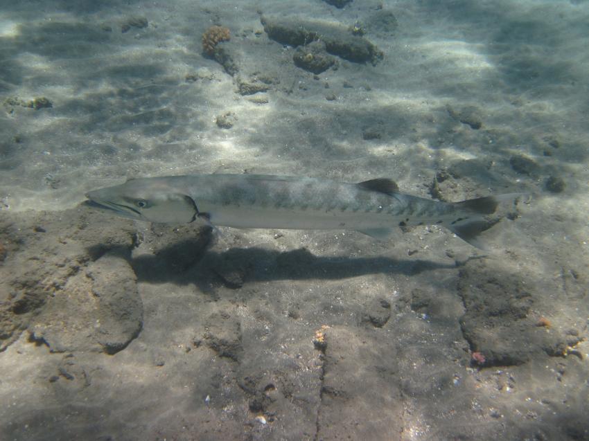 Schnorcheln Juni 2010, Coraya Bay,Ägypten,Barrakuda,groß