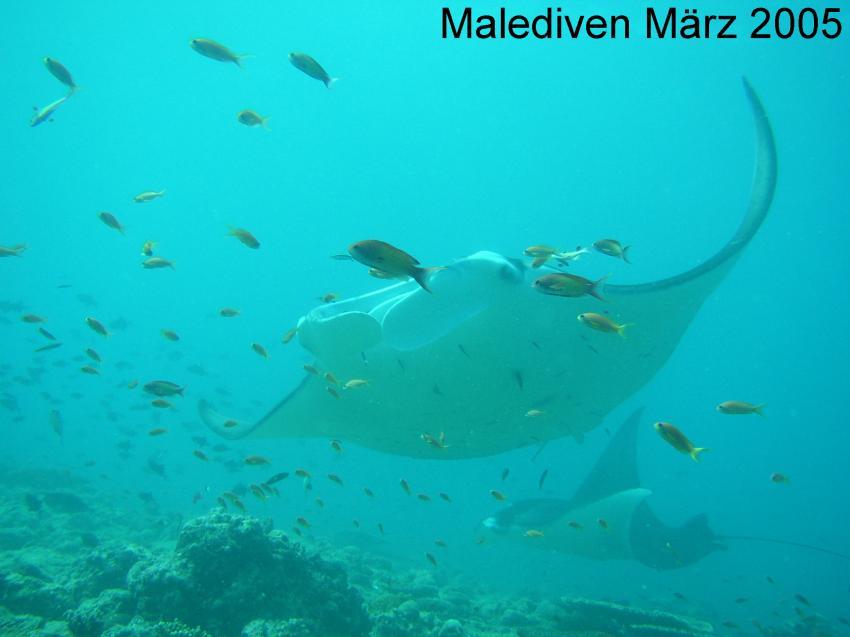 Süd-Male-Atoll, Süd-Male-Atoll,Malediven,Mantas