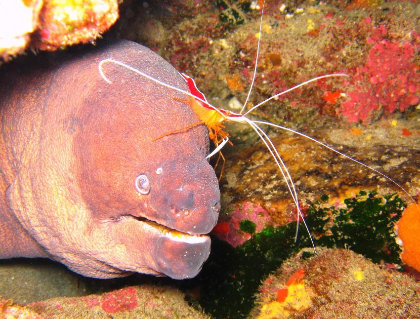 Nautic-Dive, Lanzarote, Spanien, Kanarische Inseln, muräne, shrimp