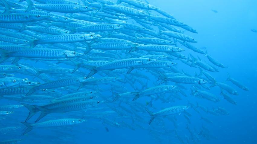 Ein paar Fischis , Member Diving, Koh Samui, Thailand, Golf von Thailand