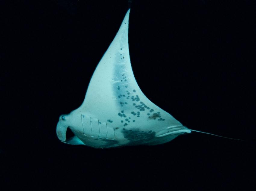 Manta Ray Night Dive, Kona,Big Island,Hawaii,USA