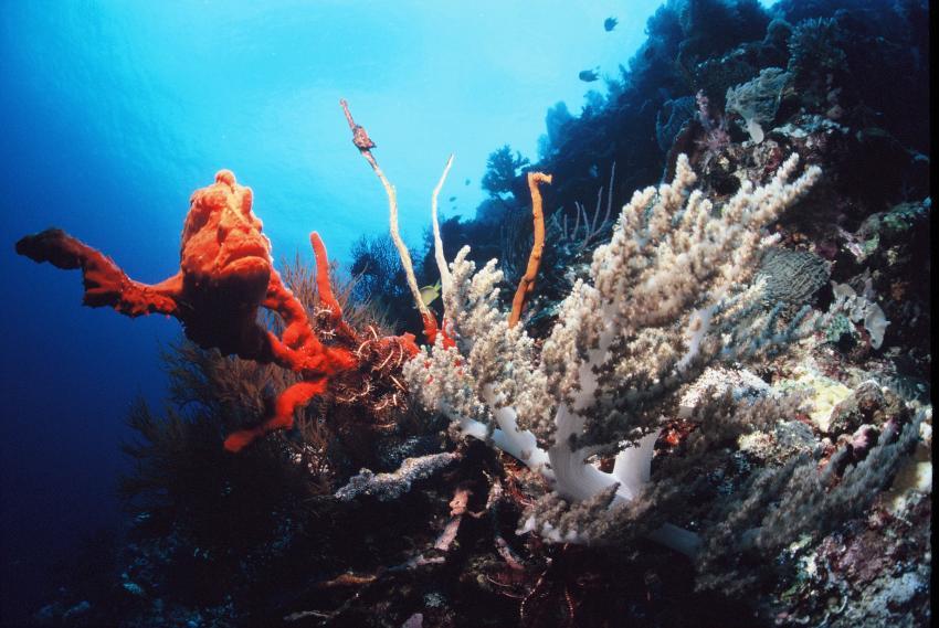 Roter Schaukelfisch in Rifflandschaft