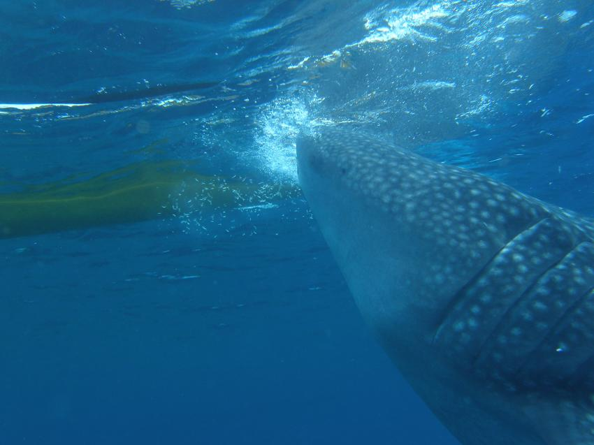 Wahlhaie in Pescador vom 2.6.2012. Eine Woche, Pescador Island Moalboal Cebu,Philippinen
