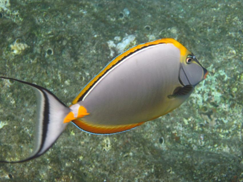 Schnorcheln Juni 2010, Coraya Bay,Ägypten,Gelbklingendoktorfisch