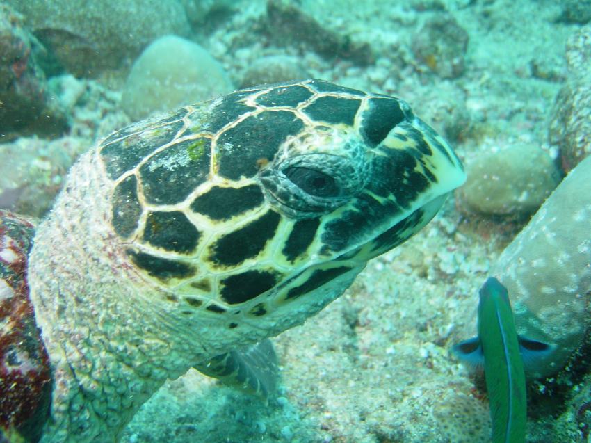 Handhu Falhi Tauchsafari, Handhu Falhi,Malediven,Schildkröte,Kopf