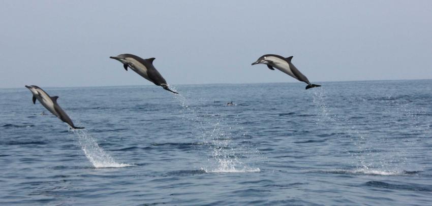 Springende Delfine Oman, Mirbat