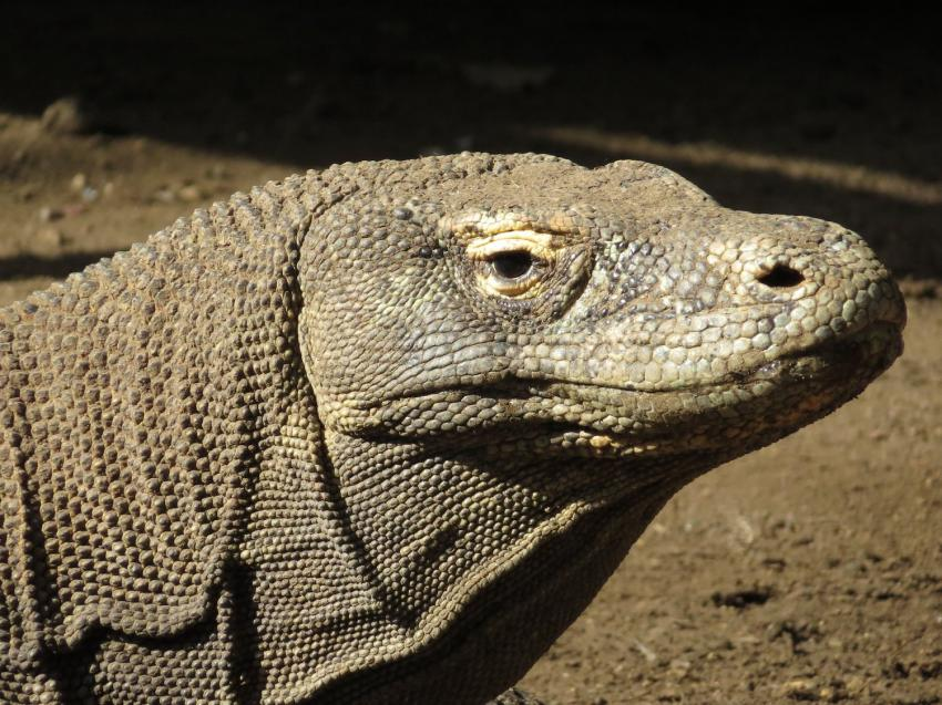 Komodo Drachen (Herzklopfen inklusive), Moana Cruising - Liveaboard Komodo, Indonesien