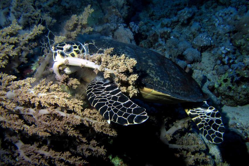 Meeresschildkröte frisst Weichkoralle