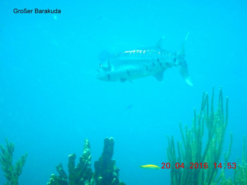 Baracuda im Atlantik, Las Antillas Diving Club, Varadero, Kuba