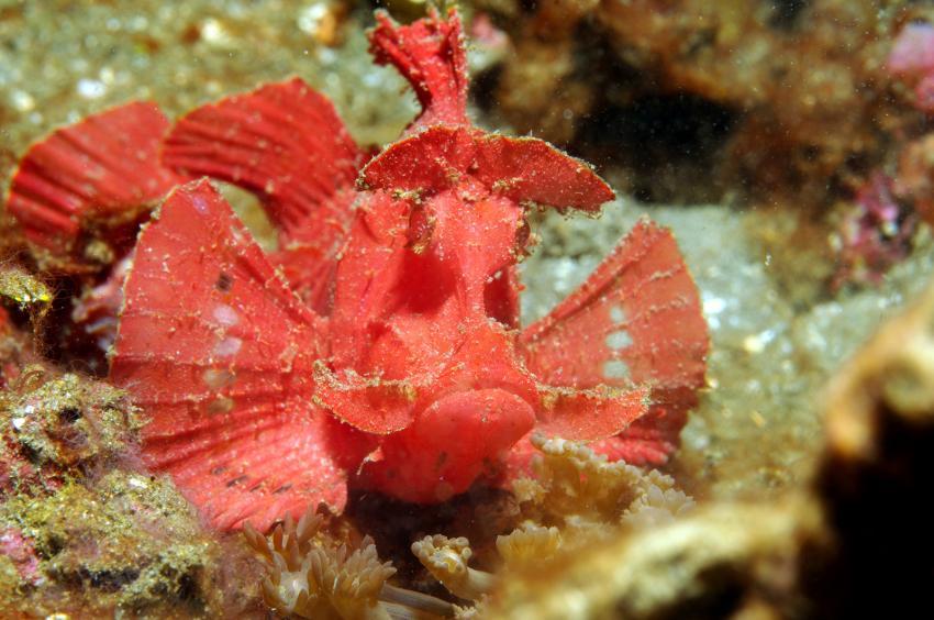 verschiedene Tauchplätze Juni/Juli 2009, Lembeh Strait,Indonesien,Rhinopias,Skorpionfische,rot