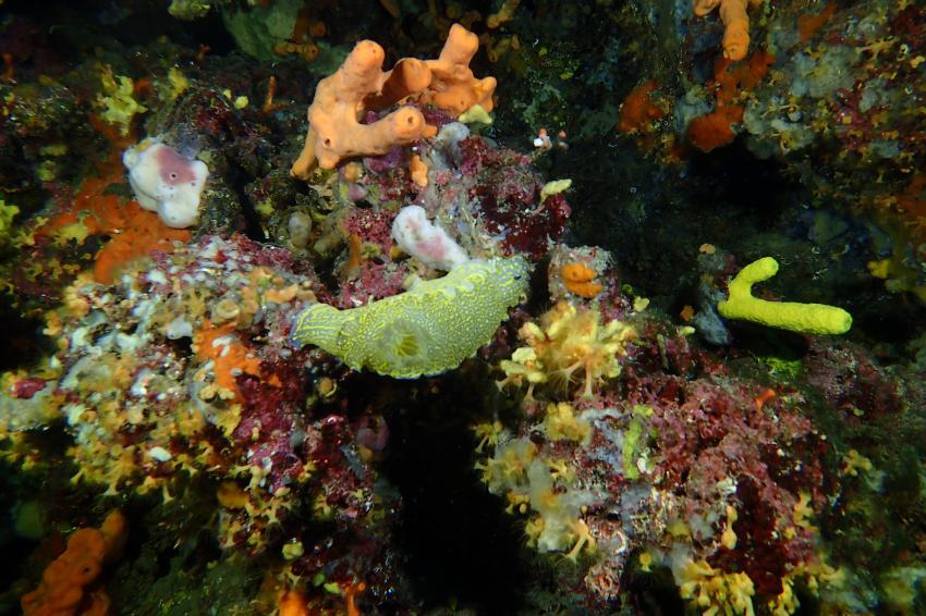 Sternschnecke Mario Juric, Sternschnecke, Styria Guenis Diving Center, DIE Tauchbasis auf der Insel Krk, Styria Guenis Diving Center - DIE Tauchbasis auf der Insel Krk, Kroatien