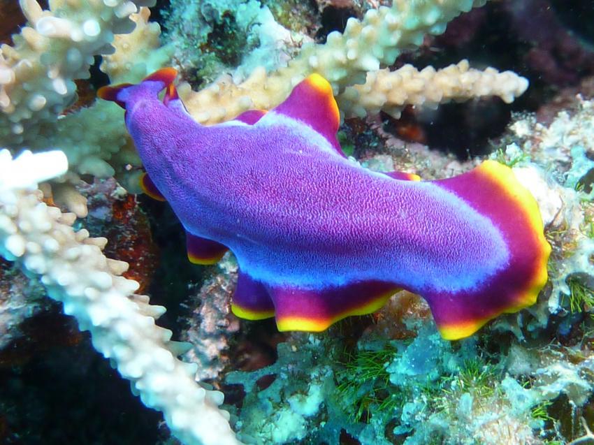 Blau-orangefarbene Samtschnecke im Riff
