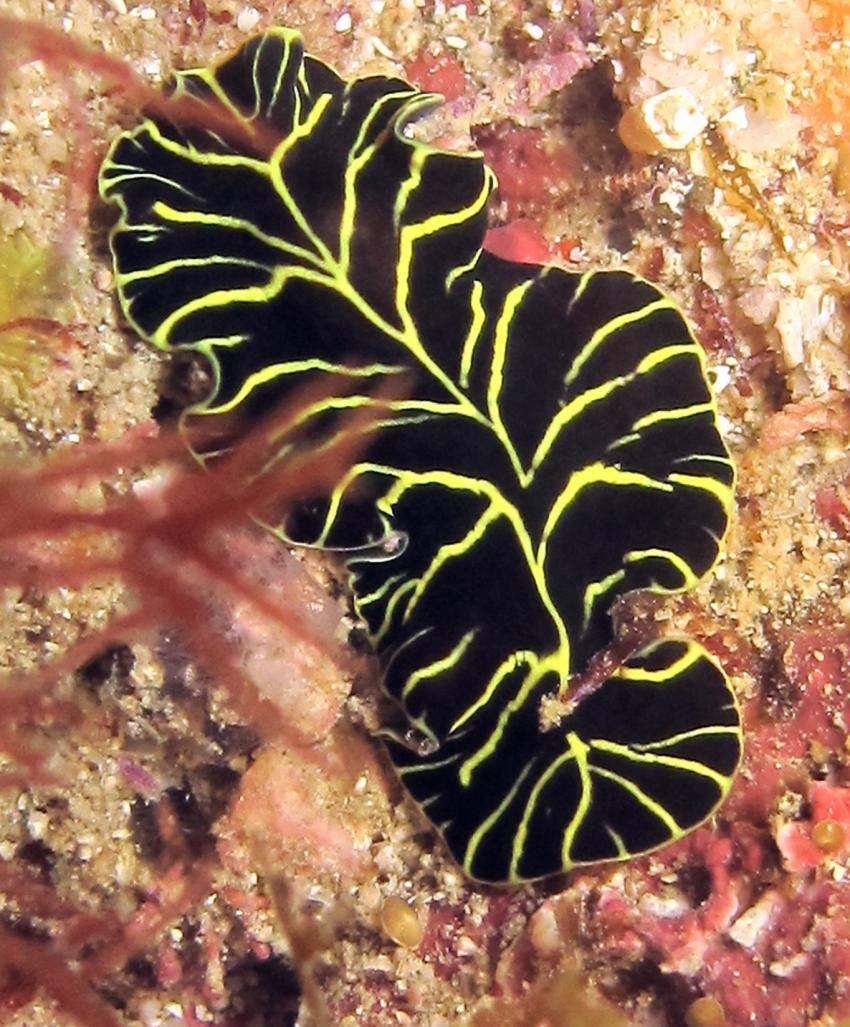 flat worm, Lumbadive PADI 5 STAR RESORT, Tyrrel Bay, Carriacou - Grenada W.I., Grenada