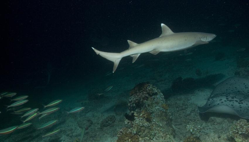 SY Siren Tauchsafari südliche Atolle, Tauchsafari südliche Atolle,Malediven,Weissspitzen Riffhai,Stechrochen