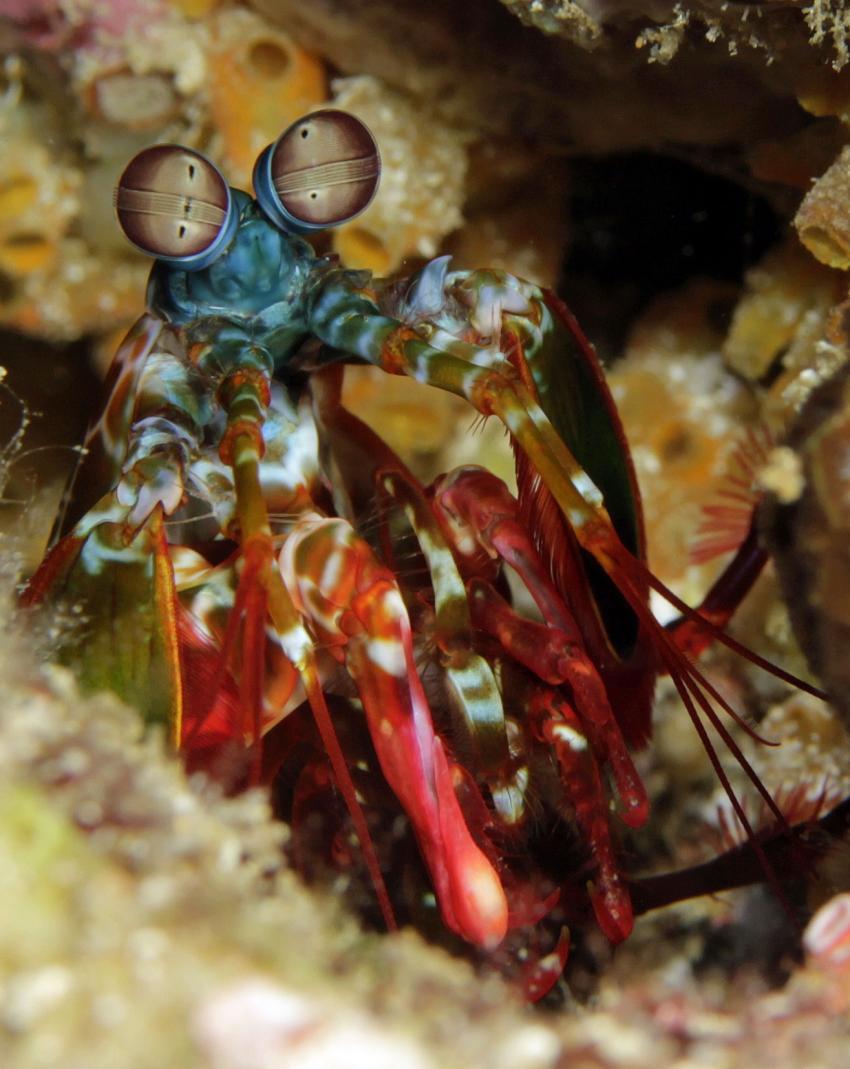 Urlaubsbilder, Raja Ampat,Indonesien,Fangschrecken,Heuschreckenkrebs (Stomatopoda)