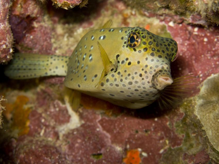 Pulau Weh / Nordsumatra, Pulau Weh,Indonesien,Kofferfisch,Gelb